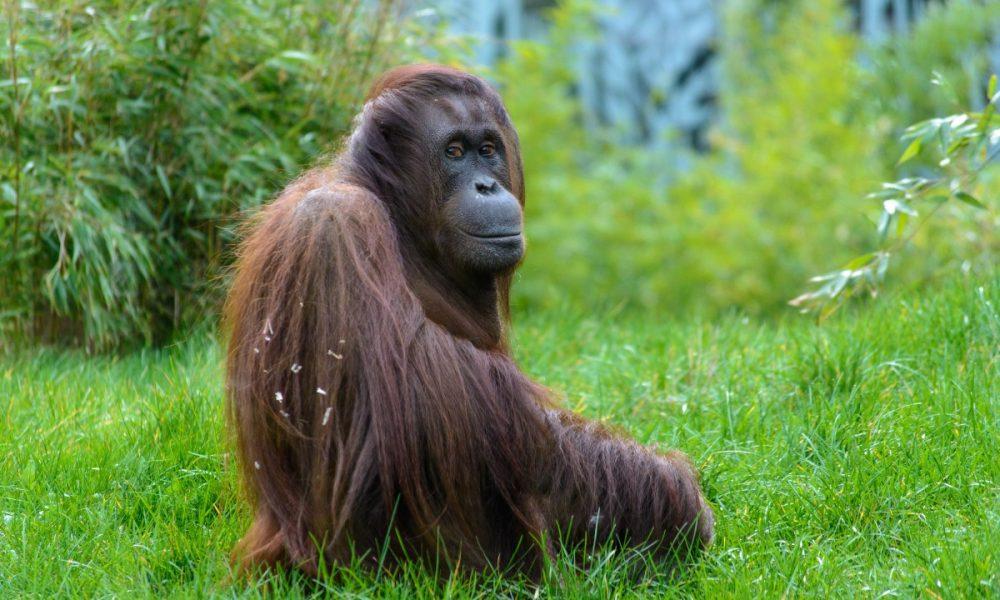 animal_monkey_zoo_monkey_portrait_orang_utan_mammals_tiergarten-807804.jpg!d