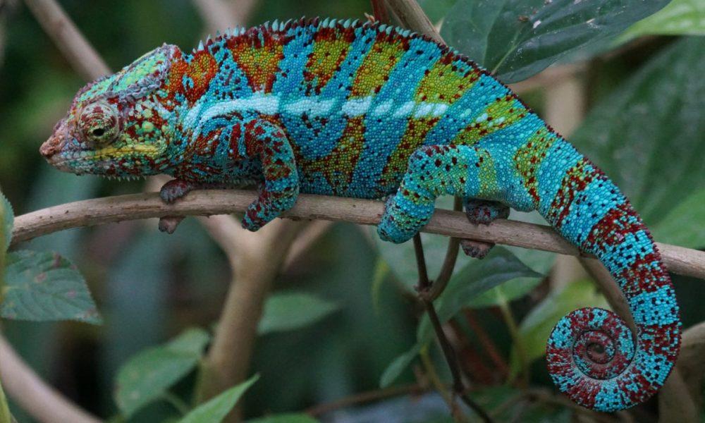 animals_reptile_schuppenkriechtier_coastal_lowland_panther_chameleon-1294454.jpg!d