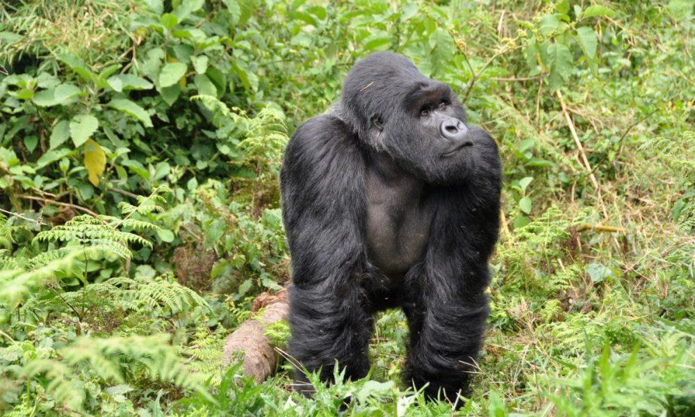 gorillas_silverback_ape_monkey_rwanda-1332795.jpg!d